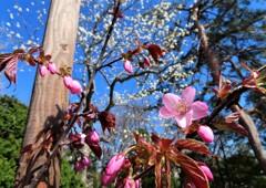 街の花 桜