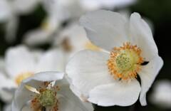 2021年5月 札幌の花たち 5