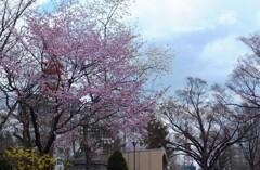 5年前の桜 1