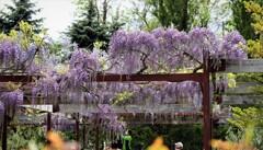 2021年5月 札幌の花たち 藤