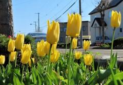 街の花 黄