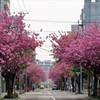 八重桜が旬 1