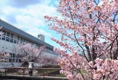 5年前の桜 3