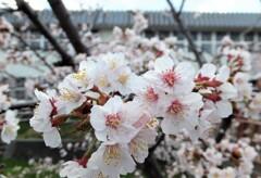 5年前の桜 4
