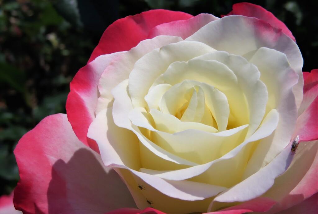 薔薇 五態  その五