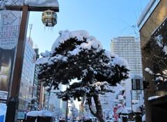 ススキノ 松にも雪