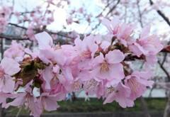 5年前の桜 5