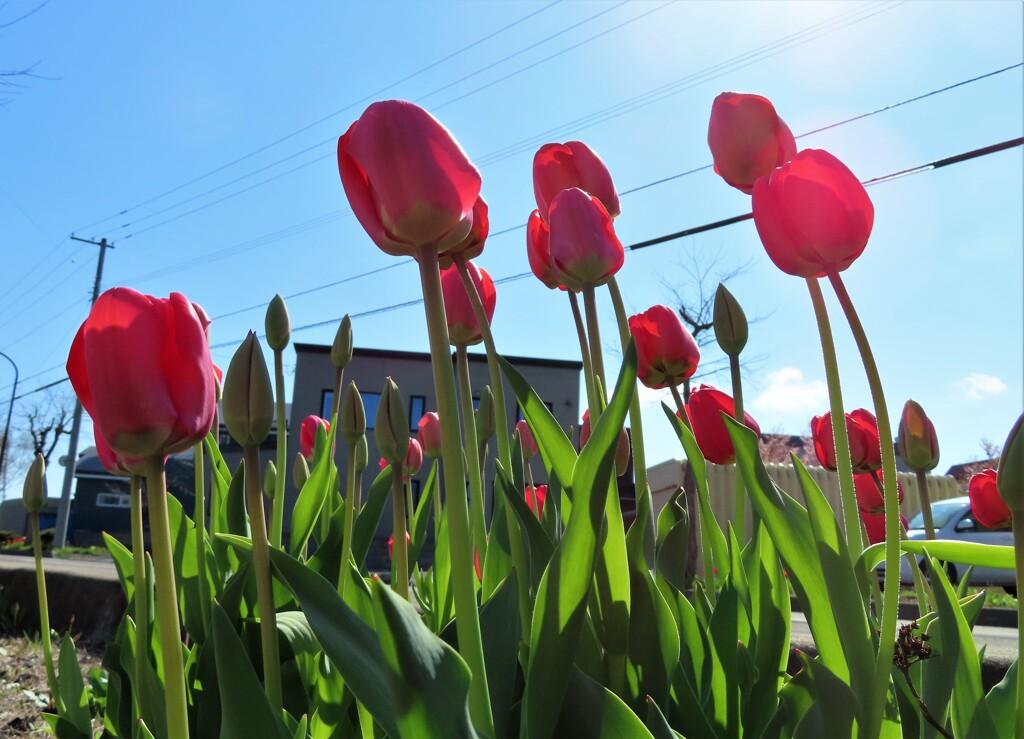 街の花 赤