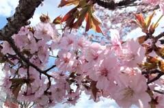 5年前の桜 2