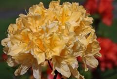 2021年5月 札幌の花たち 黄