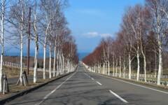 海へ向かう白樺の道