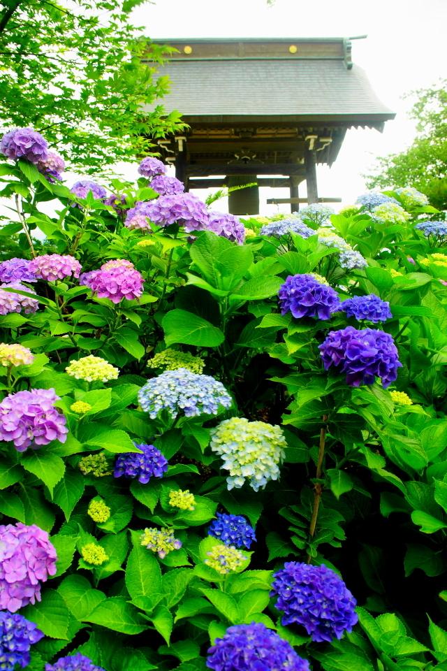 「紫陽花と鐘撞堂」
