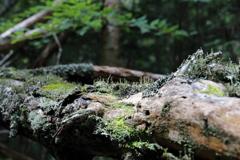 白駒池・苔の森③