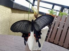 210413蝶々