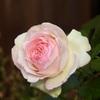 200509薔薇