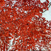 201209紅葉4