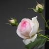 200512薔薇