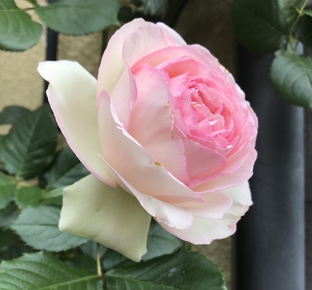 200509薔薇10