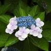200705花11
