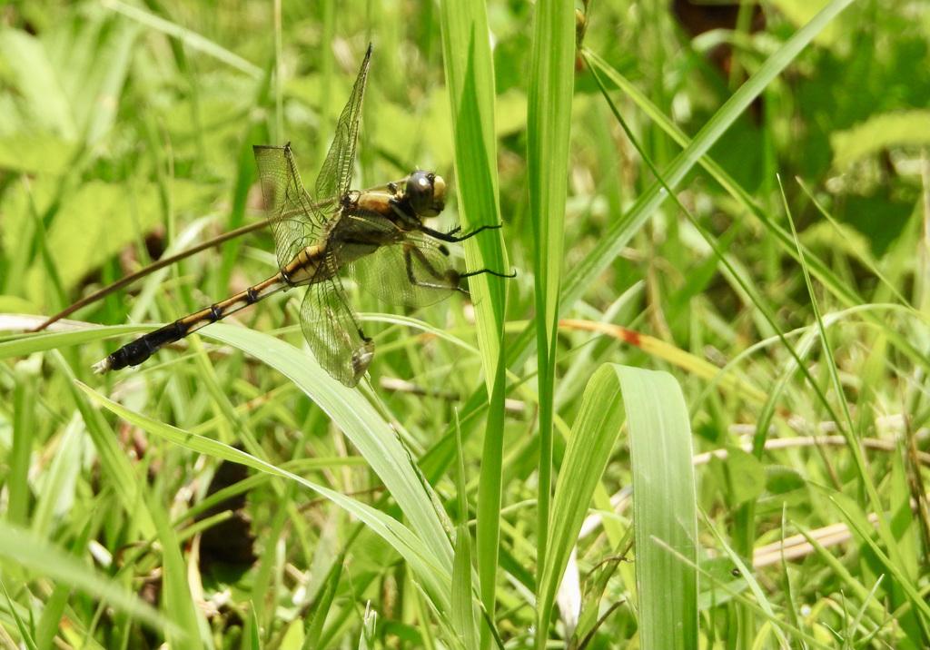 210711蜻蛉2