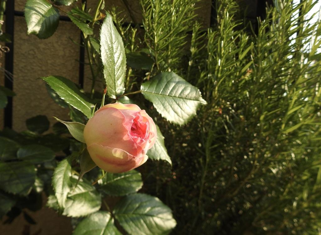 200505薔薇