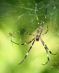 Silk spider(2)