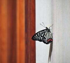 美しき害蝶