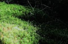 白駒の池 (3)~原生林の苔