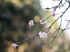 初冬の彩り~冬桜