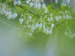 限りなく純白に近い花たち[満天星つつじ]