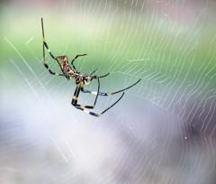 Silk spider (3)