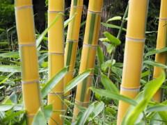 黄金色の竹