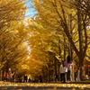 黄金色の秋…