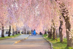 日中戦のしだれ桜