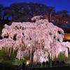三春の滝桜