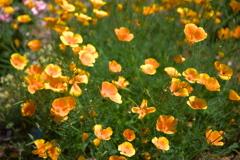 カリフォルニアポピー(花菱草)