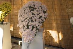 明治神宮の菊