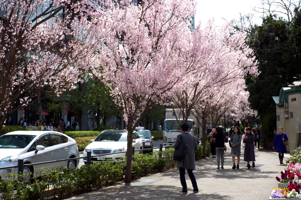 飯田橋の桜並木