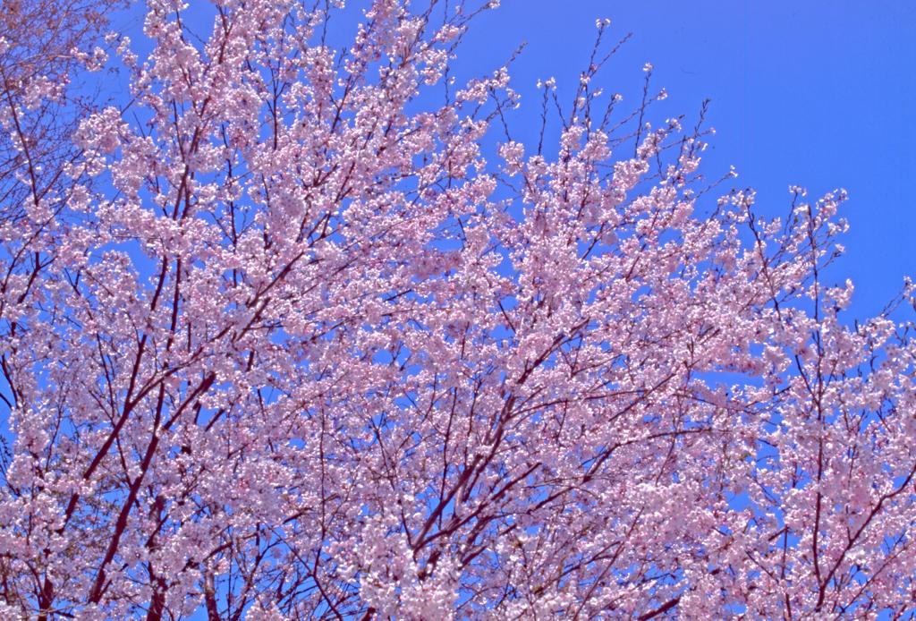 つくば市立竹園東小学校の桜