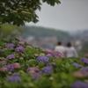 夕暮れ前の紫陽花