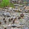 カルガモ親子の犀川散歩