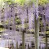 樹齢800年の藤
