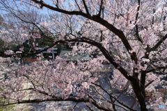 目黒不動尊の桜