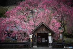 人里の枝垂れ桜