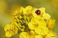 菜の花とナナホシテントウ