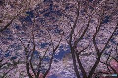満開の夜桜