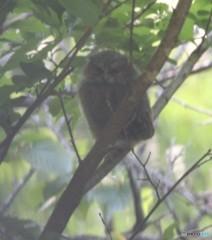 オオコノハズクさんの幼鳥。