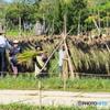 稲刈り作業Ⅱ