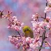桜とメジロ①