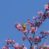 桜とメジロ②